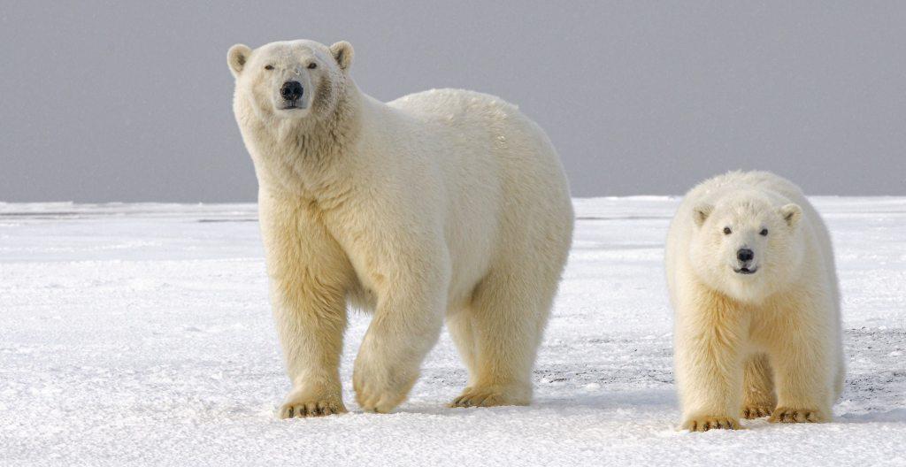 Polar bear mother and child