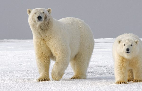 Polar bear mother and child